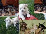 Chihuahua,  Yorkies,  Maltese for sale