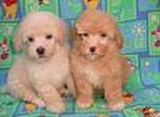 Cute Toy poodle puppies ready