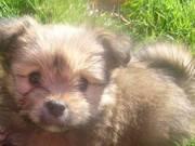 Pomeranian Pup to Good Home