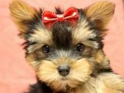 Baby Face Yorkshire Terriers Puppies