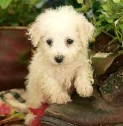 Bichon Frise Puppy for a Good Home