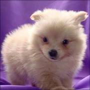 Pomeranian (teacup) Puppies For Sale