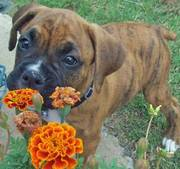 Adorable Boxer Puppy For Your Home