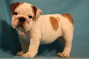 Big Beautiful Bulldogs For Sale