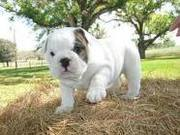 LOVELY ENGLISH BULLDOG PUPPIES AVAILABLE