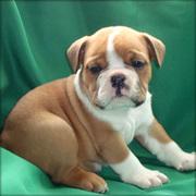 BULL DOG PUPPS LOVABLE X2