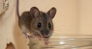Trusted Rat & Mice Control Company Surrey,  New Westminster| ASM Pest C