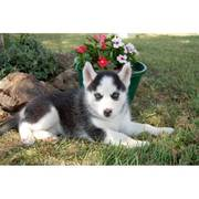 Blue eyes  siberian husky puppy available now