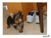Cute Yorkie Puppies For  Free Adoption