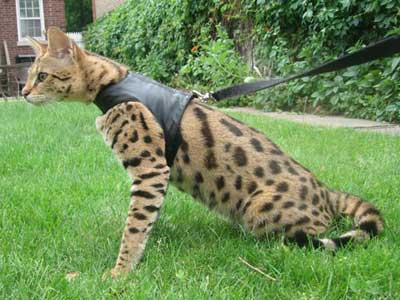 savannah f1 andserval kittens cats for sale kittens for sale