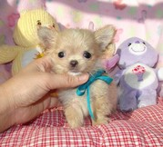 Female Chihuahua Puppy For Adoption