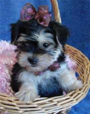Excellent Quality Yorkshire Terrier Puppies In Search Of Homes!!!